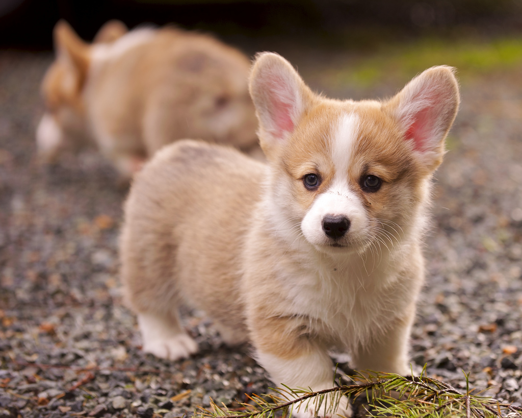 Corgi Puppies 18 by evocateur, on Flickr