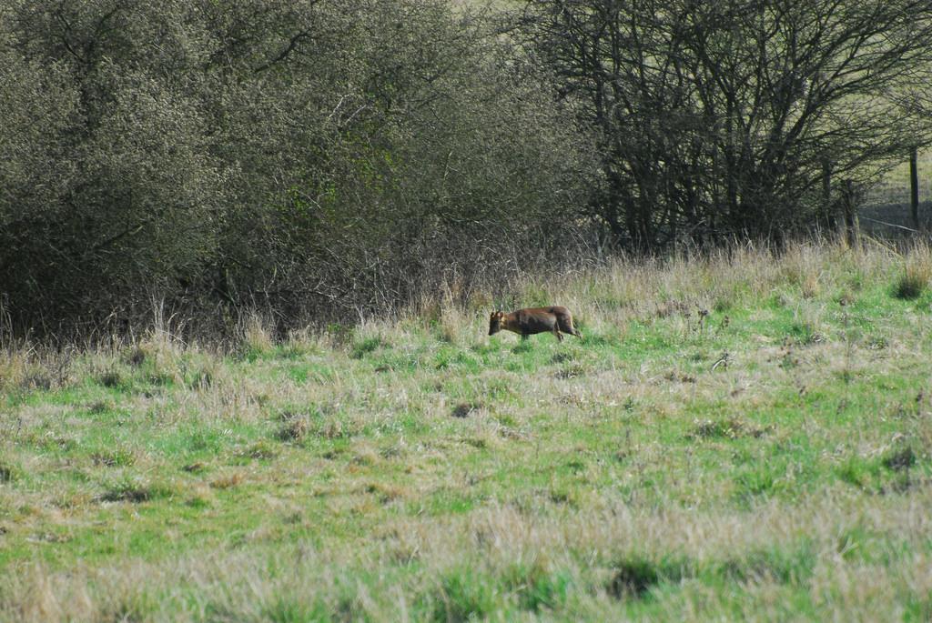 Muntjac Deer, Epping Forest by martin_vmorris, on Flickr