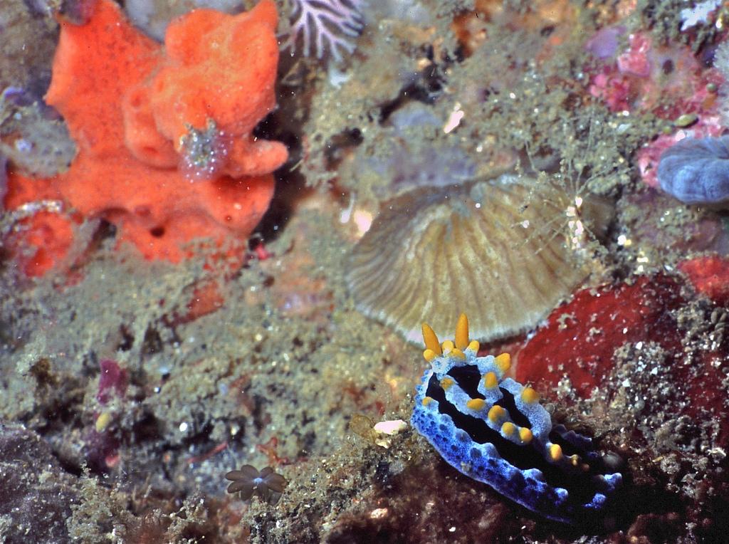 Sea Slug Phyllidia coelestis by berniedup, on Flickr