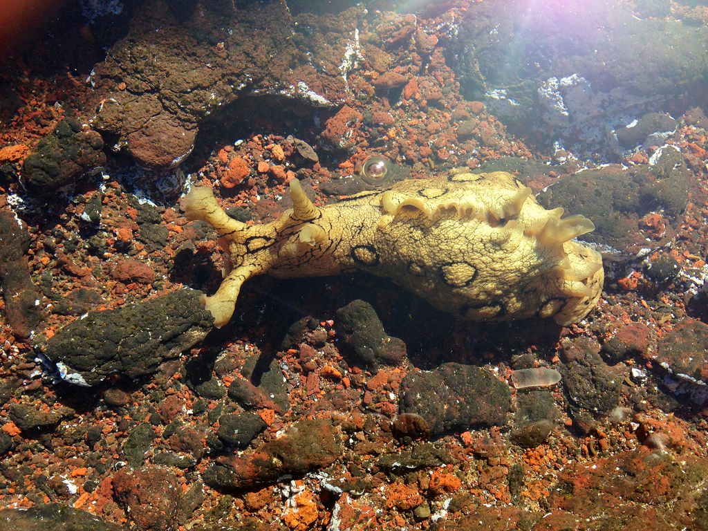 Sea Slug, Tenerife by GanMed64, on Flickr