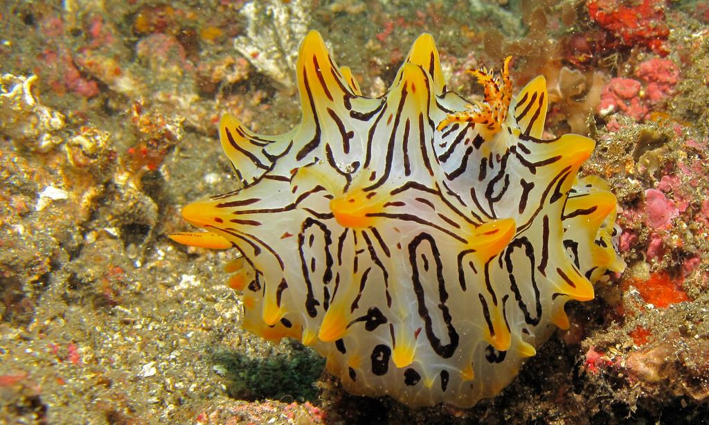 Sea Slug (Halgerda okinawa) by berniedup, on Flickr