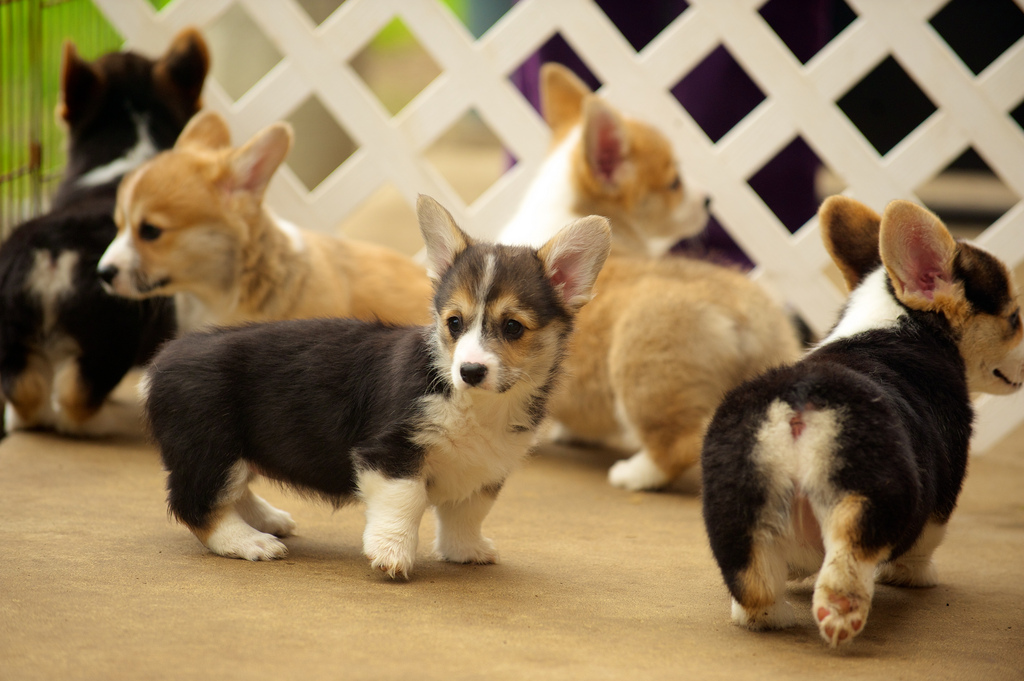 Corgi Puppies 89 by evocateur, on Flickr