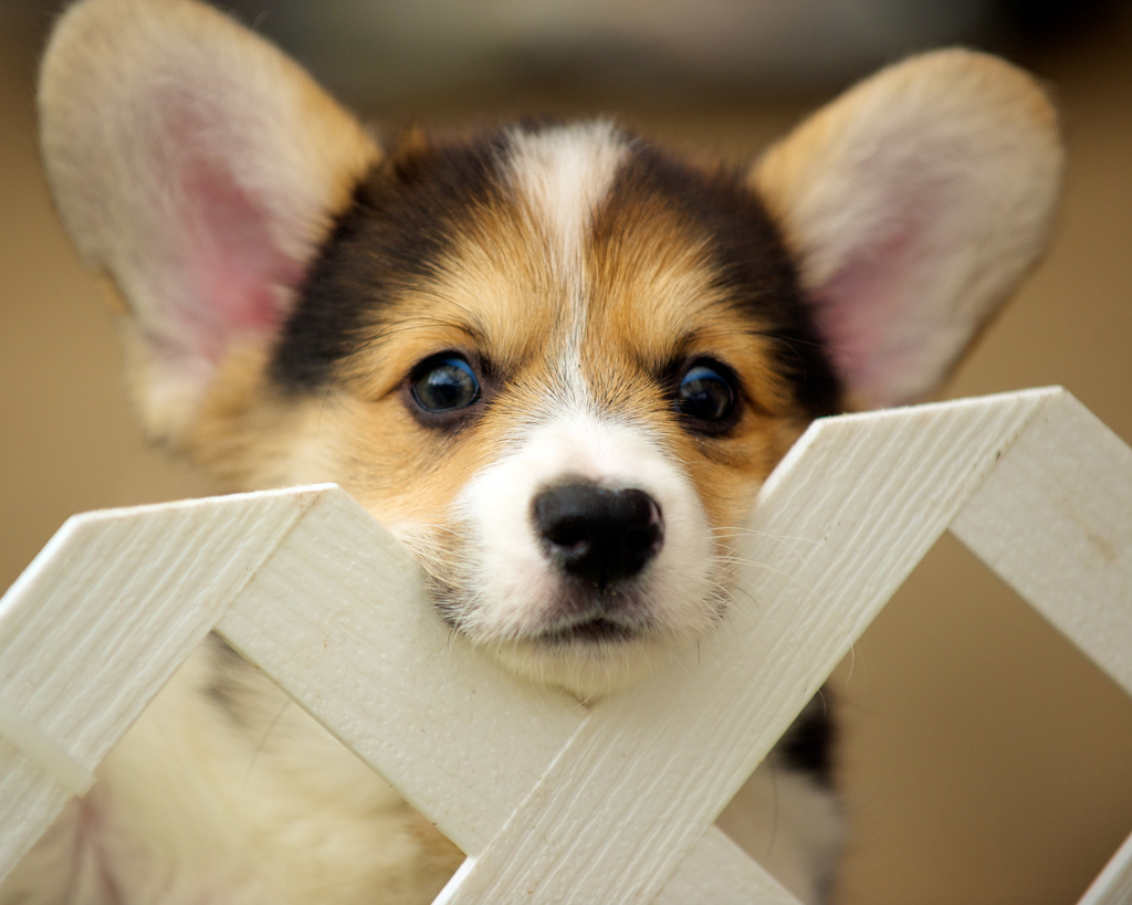 Corgi Puppies 92 by evocateur, on Flickr