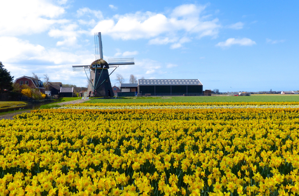 Windmill in a field of flowers by romanboed, on Flickr