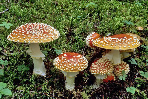 Alaska mushroom Amanita muscaria-a by USDAgov, on Flickr