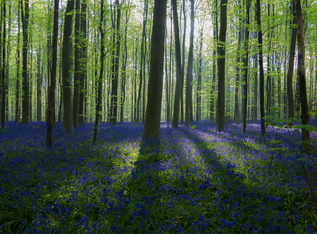 Bluebell wood, rising sun by christophecouckuyt, on Flickr