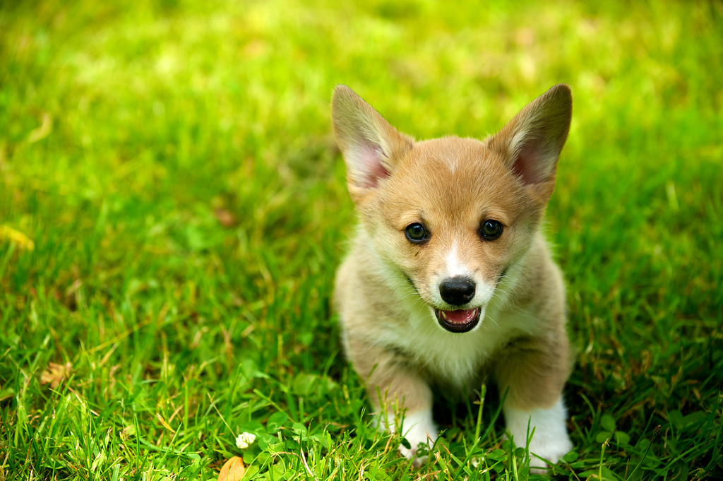 Corgis at Eight Weeks 65 by evocateur, on Flickr
