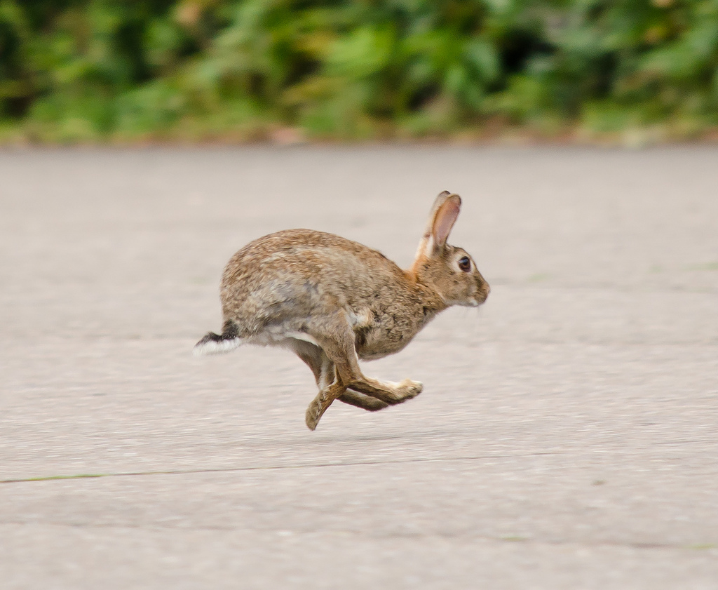 rabbit by Lauris Rubenis, on Flickr