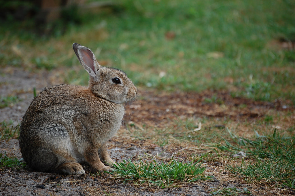 Rabbit / Lapin by Dulup, on Flickr