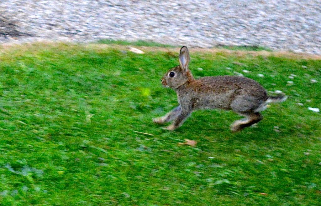 Running Rabbit, Heaton Park by stacey.cavanagh, on Flickr
