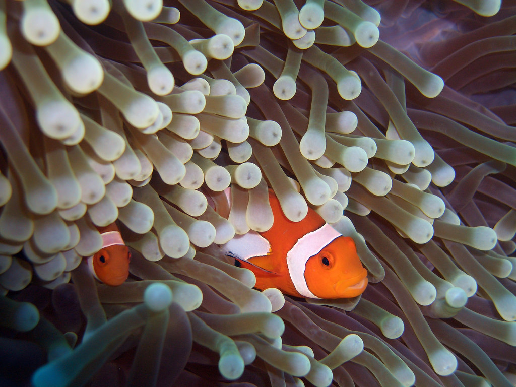Clownfish and Sea Anemone 2 by CybersamX, on Flickr