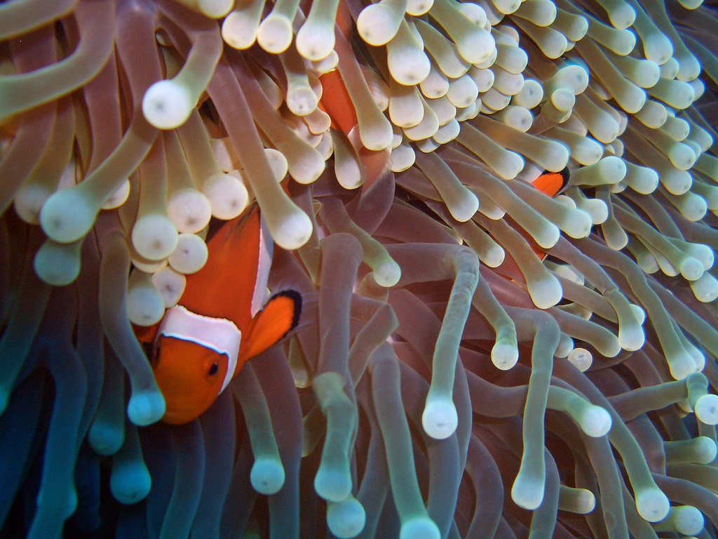 Clownfish and Sea Anemone by CybersamX, on Flickr