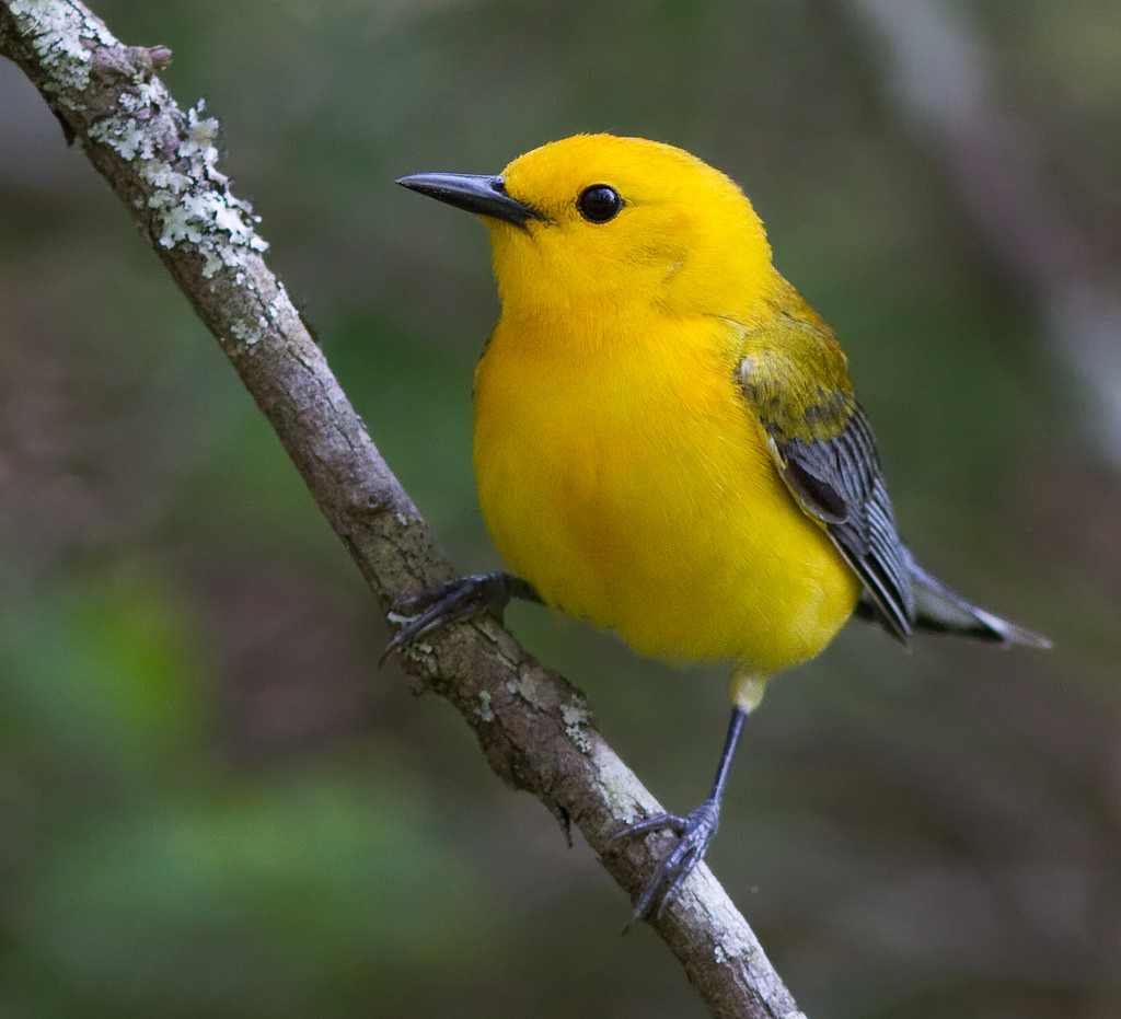 Prothonotary warbler by U. S. Fish and Wildlife Service - Northeast Region, on Flickr