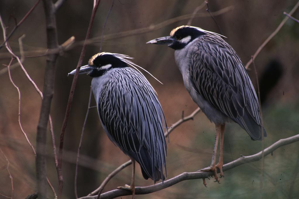 Wading birds by U. S. Fish and Wildlife Service - Northeast Region, on Flickr
