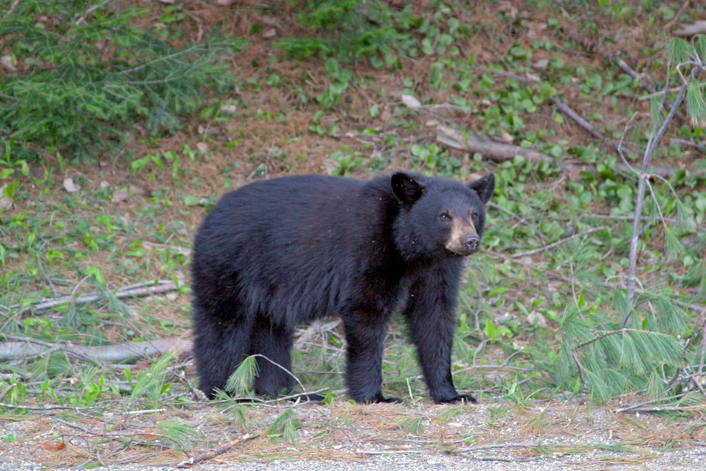 Photo of the Week - Black Bear (ME) by U. S. Fish and Wildlife Service - Northeast Region, on Flickr