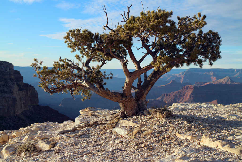 """Water-thrifty """"Bonsai"""" Tree Along the Gr by Grand Canyon NPS, on Flickr"""