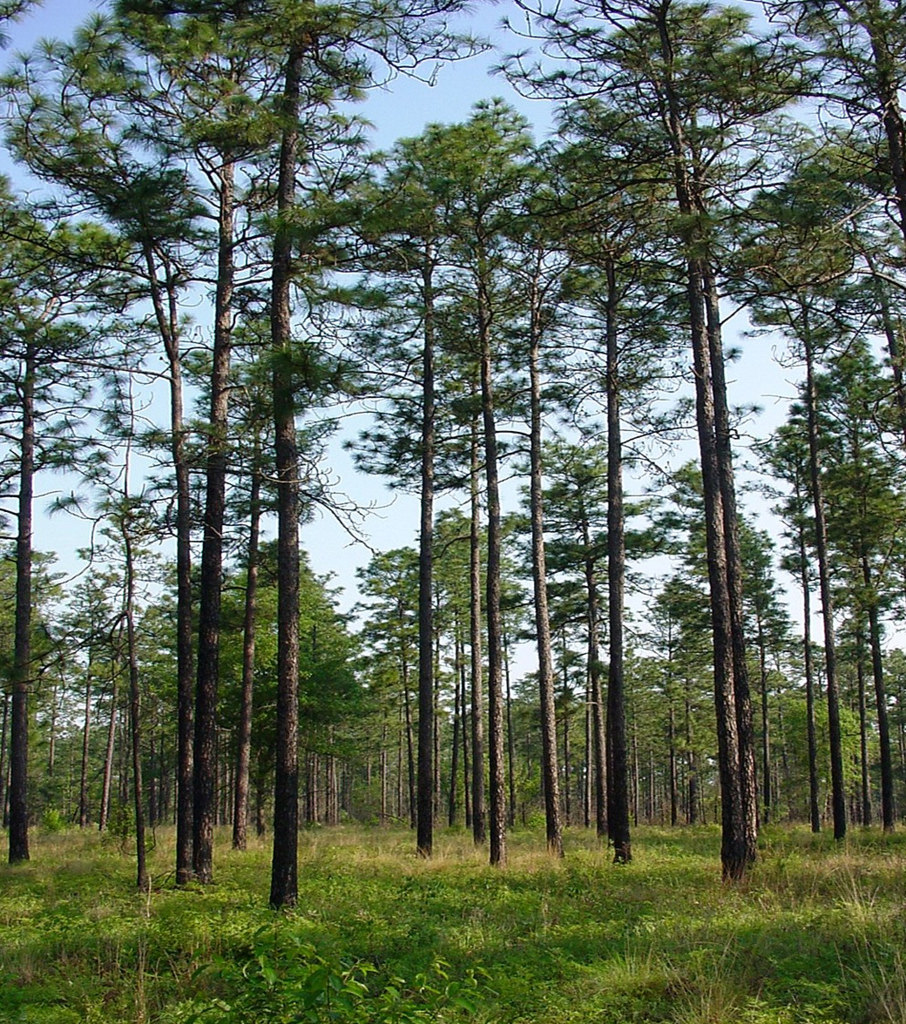 Longleaf Pine by USDAgov, on Flickr