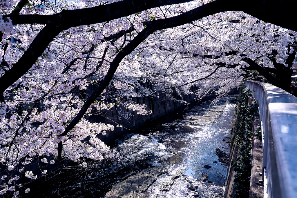 from tree flows what you call sakura 1 by torne (where