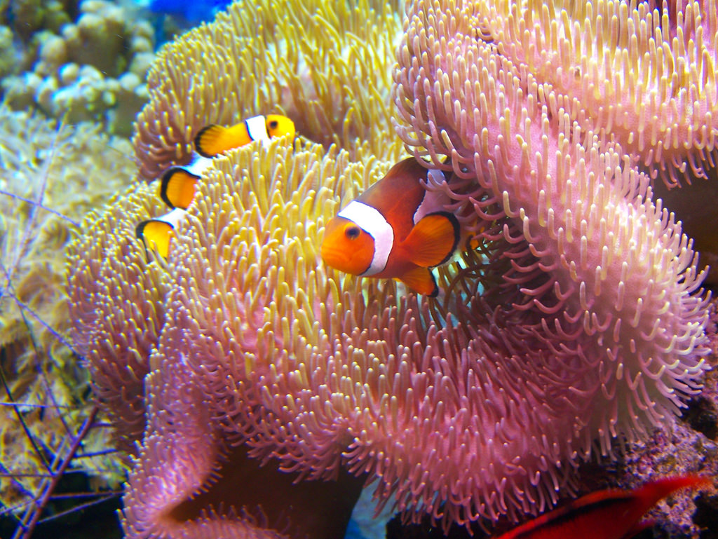 Clown Fish Family by wohnai, on Flickr
