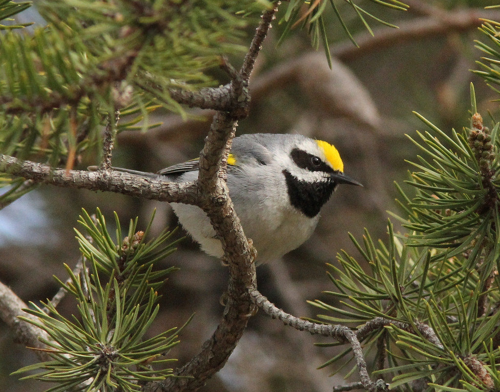 Golden-winged Warbler, Tawas Point State by Caleb Putnam, on Flickr