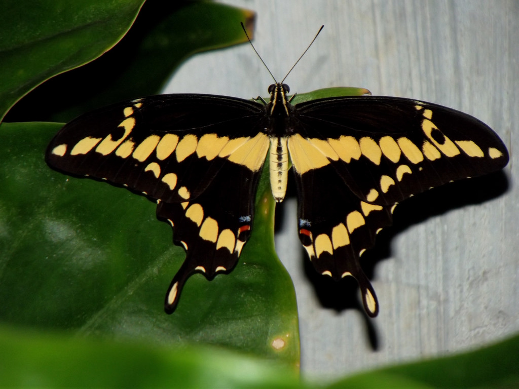 Black & Yellow Butterfly (Papilio lycoph by luisjromero, on Flickr