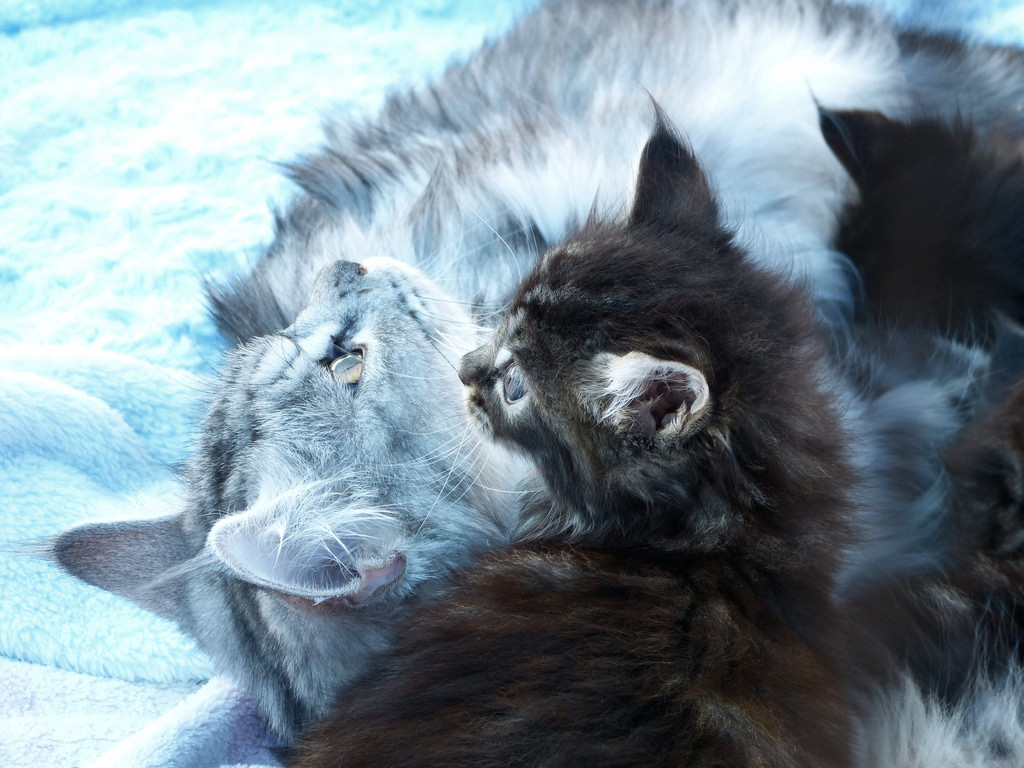 Maine Coon Mother with 5 week old Kitten by Sue Salisbury Maui Hawaii, on Flickr