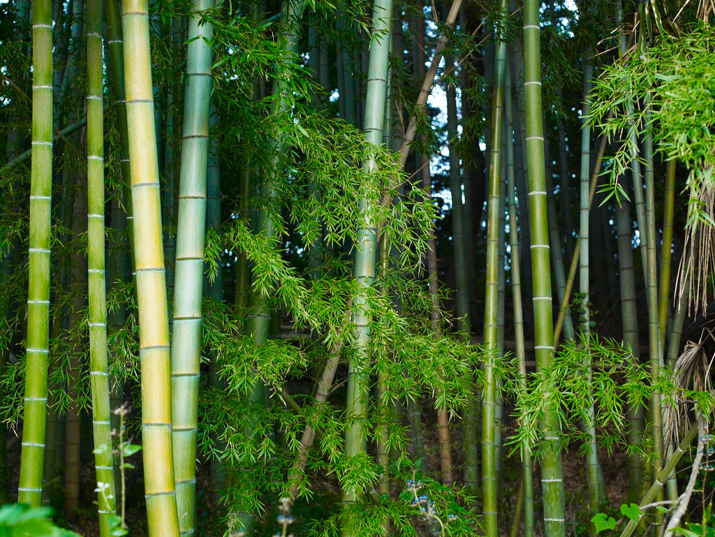 Bamboo thicket in the morning by Joi, on Flickr