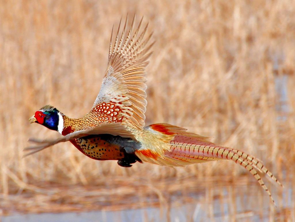 Ring-necked pheasant flying Lacreek Nati by USFWS Mountain Prairie, on Flickr