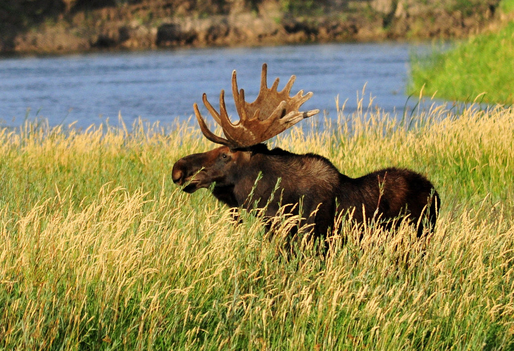 Bull moose eating Coyote Willow on Seeds by USFWS Mountain Prairie, on Flickr