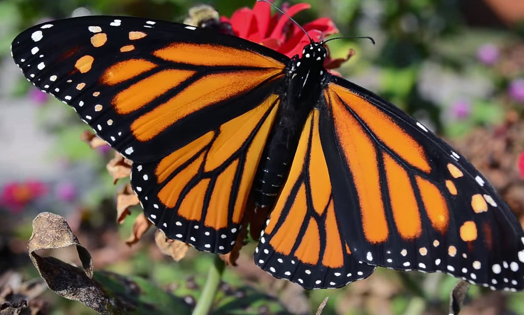 Monarch Butterfly by U.S. Fish and Wildlife Service - Midwest Region, on Flickr