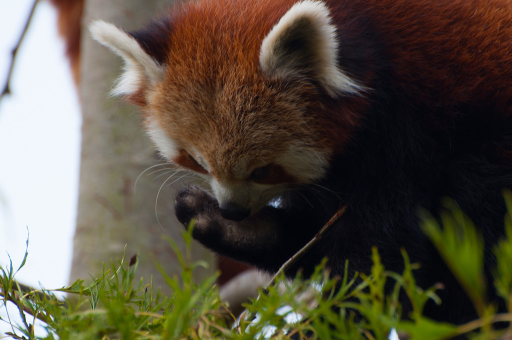 Red Panda Licking Paw by Harlequeen, on Flickr