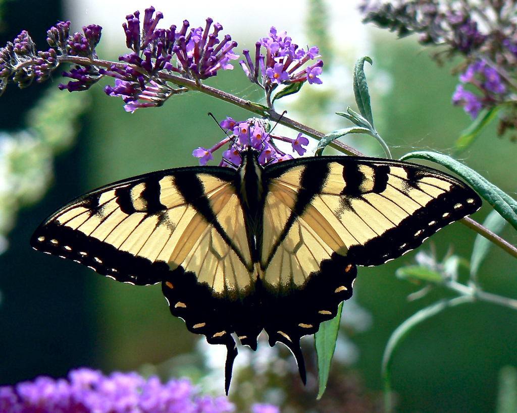 Eastern Tiger Swallowtail with Butterfly by Swallowtail Garden Seeds, on Flickr