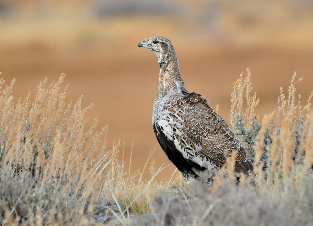 Greater Sage Grouse Seedskadee National by USFWS Mountain Prairie, on Flickr