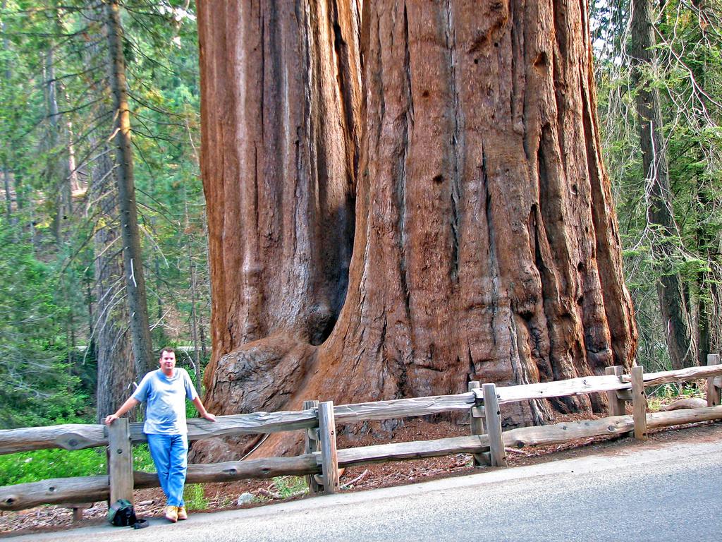 Sequoiadendron giganteum - giant sequoia by James St. John, on Flickr