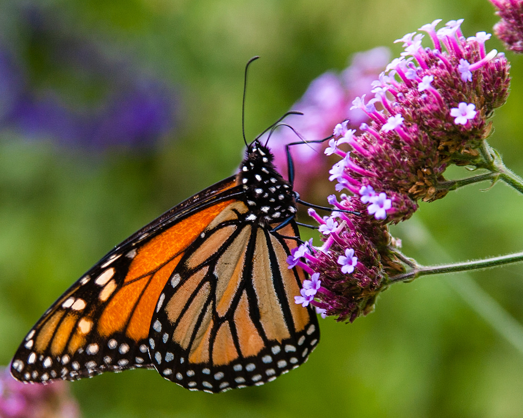 Monarch Butterfly by Me in ME, on Flickr