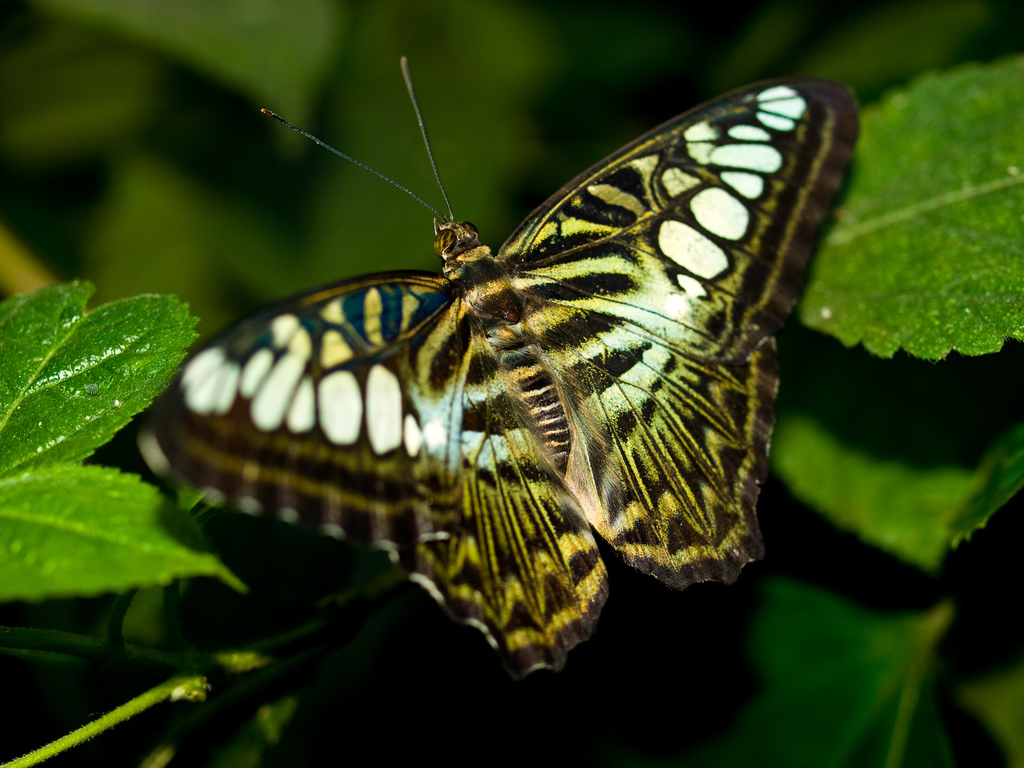 Clipper Butterfly by wwarby, on Flickr