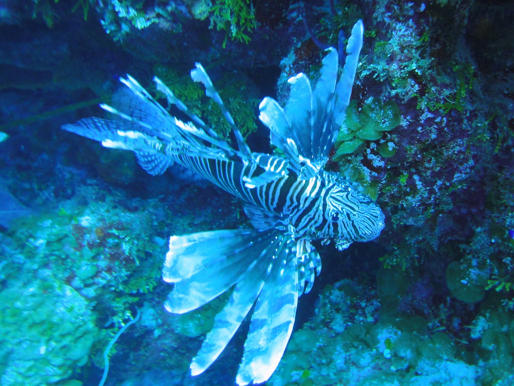 Lionfish on Black Tip Wall, Exuma Cays, by mattk1979, on Flickr