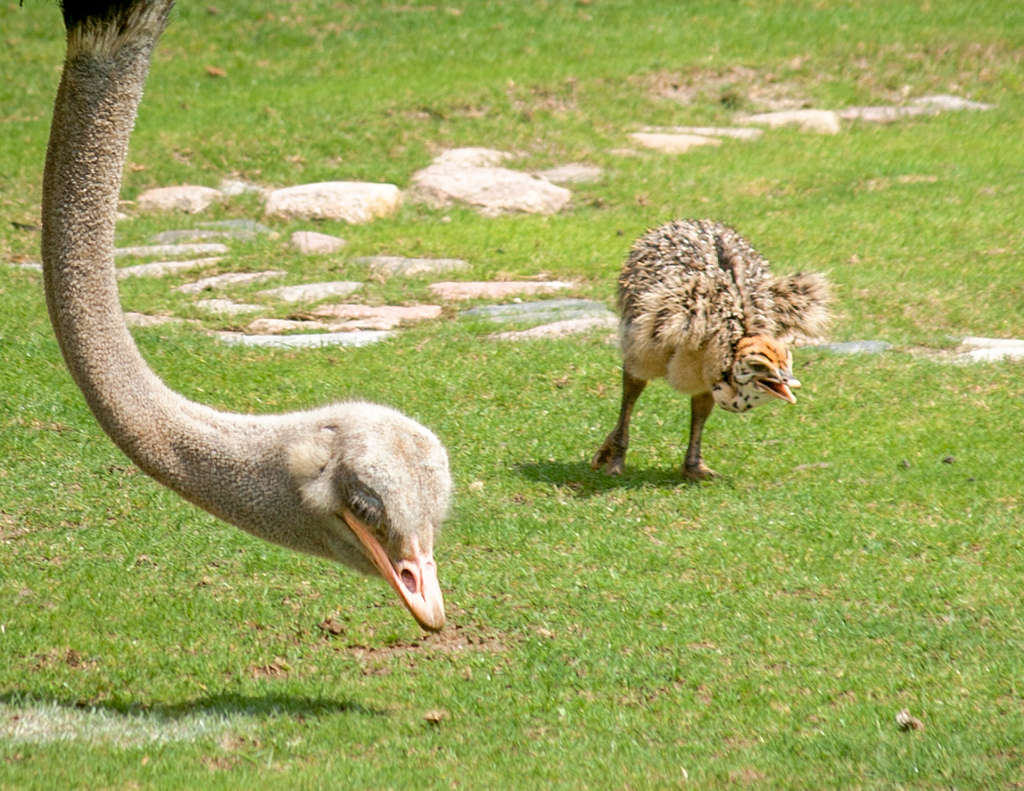Mom And Baby Ostrich by Me in ME, on Flickr