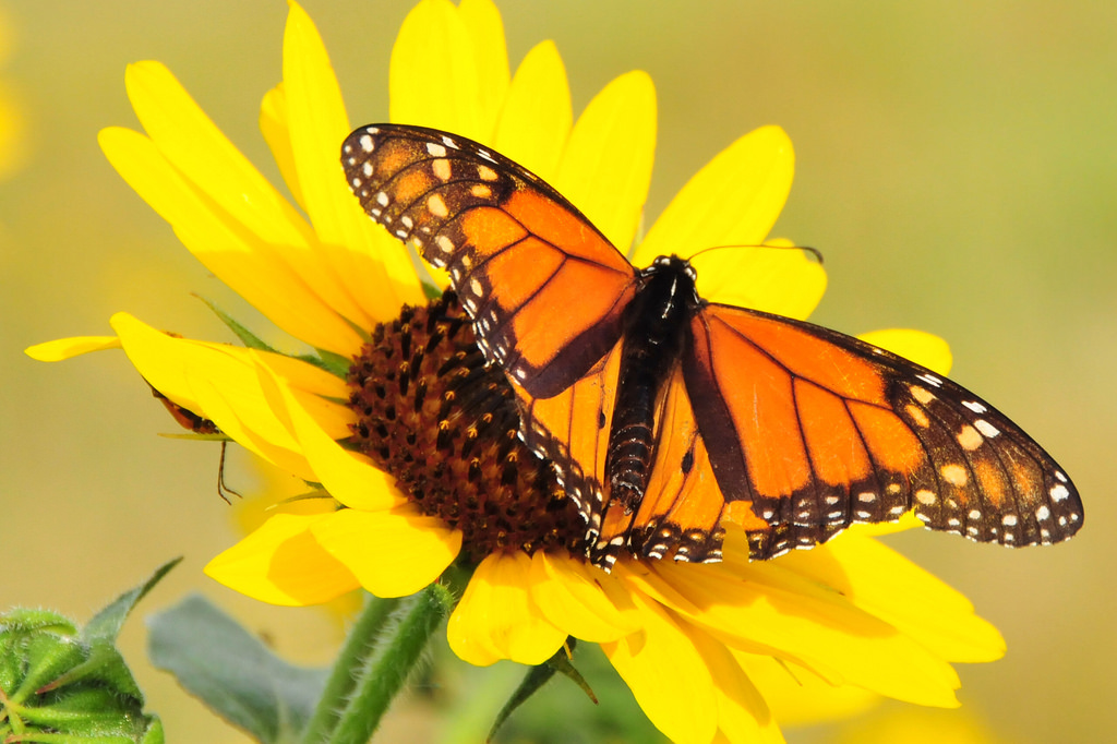Monarch on Sunflower Lacreek National Wi by USFWS Headquarters, on Flickr