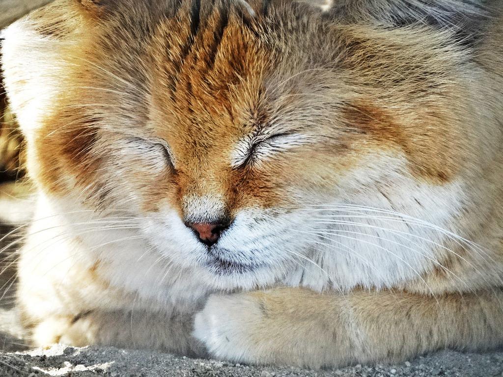 Sleeping Sand Cat, Living Desert 3-15 by inkknife_2000 (8 million views +), on Flickr