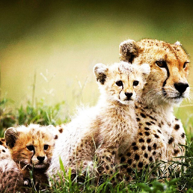 Happy families. #cheetah #cubs #animals by Frontierofficial, on Flickr
