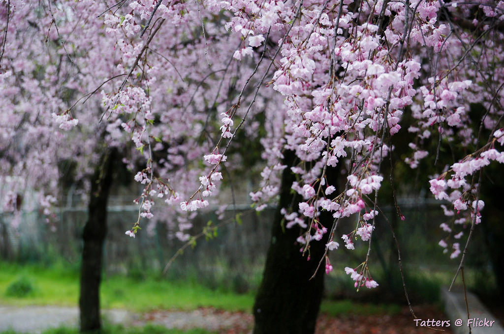 Weeping sakura. Сакура плаку� by Tatters ✾, on Flickr