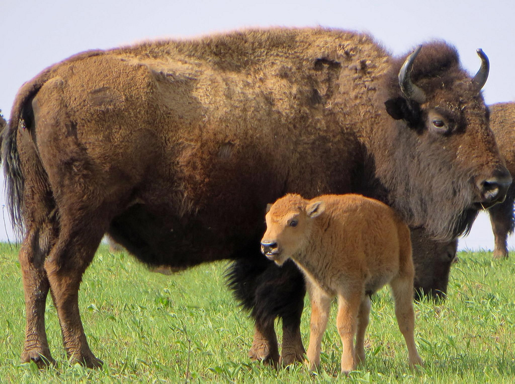 Bison with calf at Neal Smith National W by U.S. Fish and Wildlife Service - Midwest Region, on Flickr