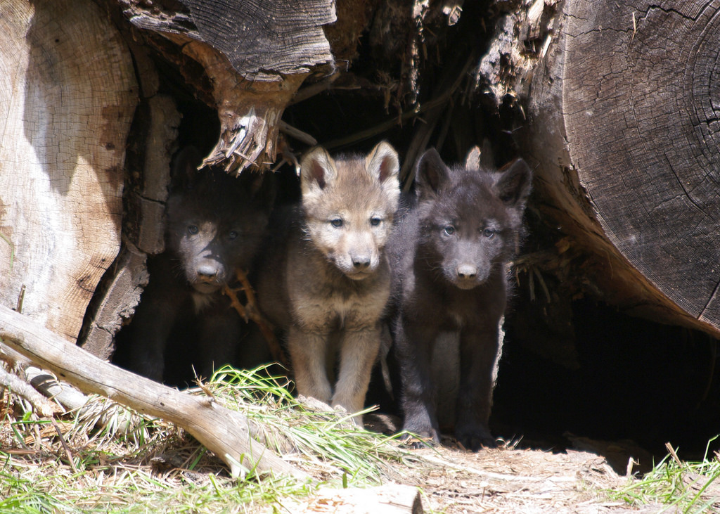 Wenaha_pups_2012_IMGP6636_odfw by Oregon Department of Fish & Wildlife, on Flickr