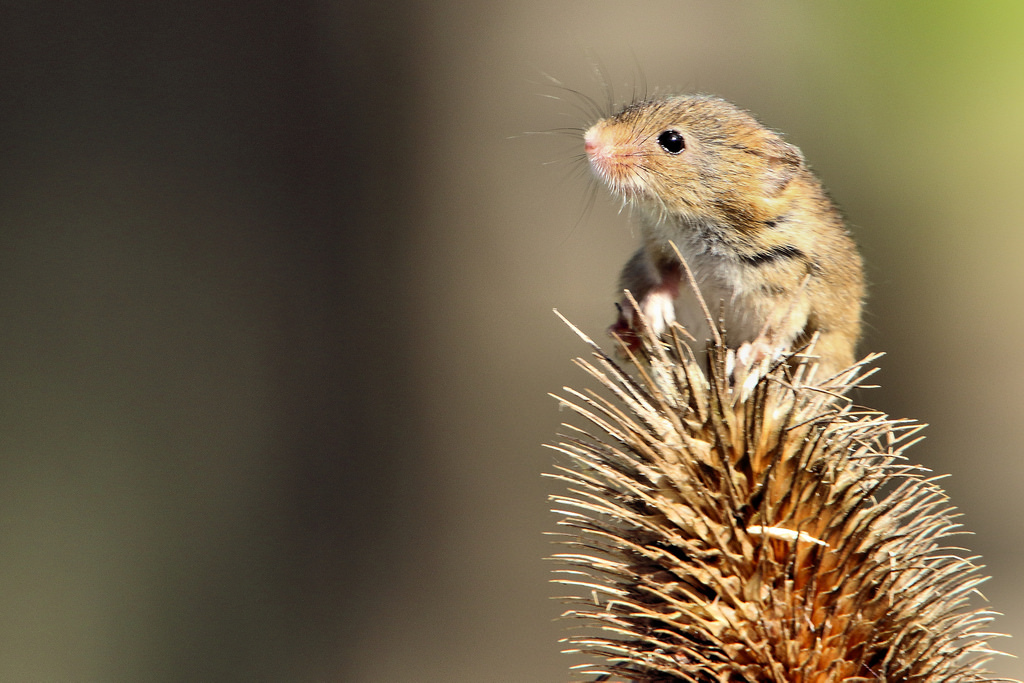 Harvest Mouse - British Wildlife Centre by Airwolfhound, on Flickr