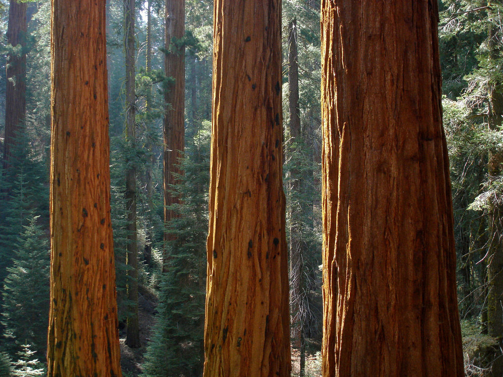 Giant sequoia in Redwood Canyon in Sequo by MiguelVieira, on Flickr