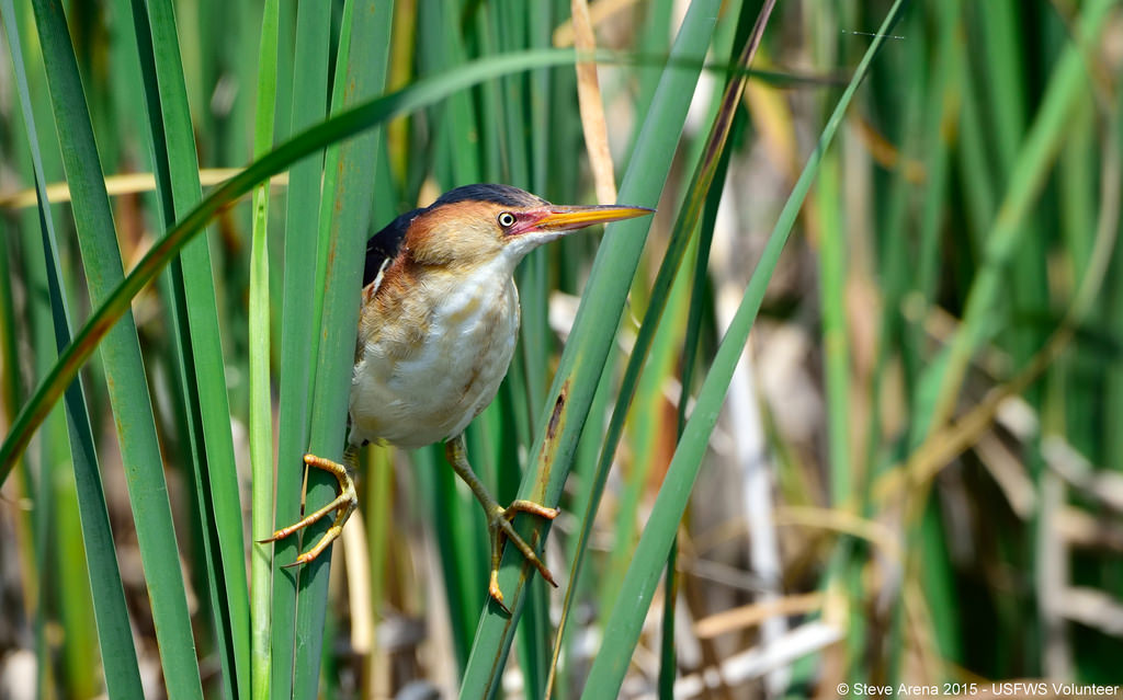 Male Least Bittern (Ixobrychus exilis) s by U. S. Fish and Wildlife Service - Northeast Region, on Flickr