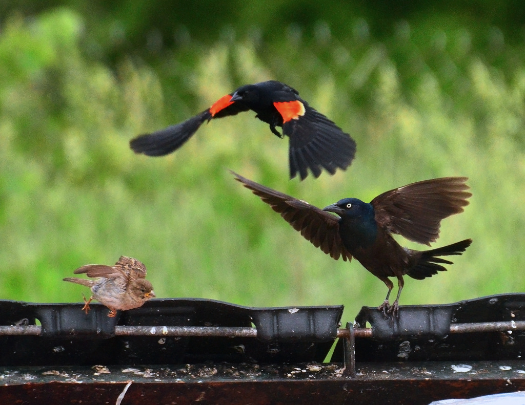 Sparrow, Grackle, and Red-wing Blackbird by Richard Hurd, on Flickr