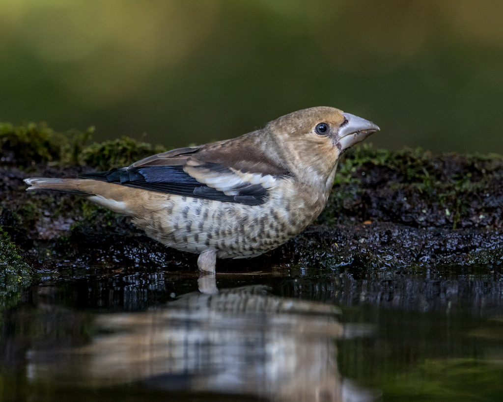 Hawfinch (Juvenile) by Andy Morffew, on Flickr
