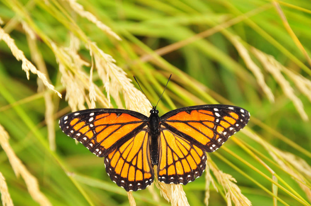 Viceroy Butterfly on Lacreek National Wi by USFWS Mountain Prairie, on Flickr